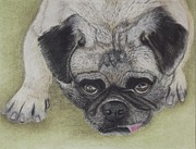 Puppies Pastels Framed Prints - Pleading Pug Framed Print by Brenda Maas