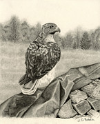 Hyper Realistic Drawings Prints - Pleasant Valley Red-tailed Hawk Print by Sarah Batalka
