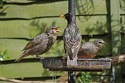 Starlings Metal Prints - Please feed me. Metal Print by Tony Murtagh