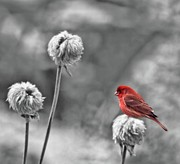 Finch Photos - Please God I Need Spring by Diane Schuster