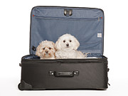 Maltese Dog Posters - Please Take Us With You Poster by Jim Vallee