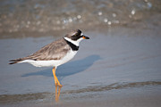 Tidal Photographs Photo Framed Prints - Plover explores tidal flat Framed Print by Carla Mason