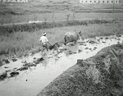 Ikon Prints - Plowing a rice paddy Print by Bob Hislop