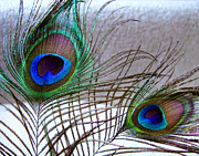 Peacock Metal Prints - Plucked From Life Metal Print by Peter Piatt