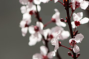 Plum Photo Framed Prints - Plum Blossom II Framed Print by Peter Tellone