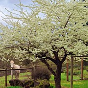 Animals Art - Plum Blossoms Over Cisco by Blenda Studio