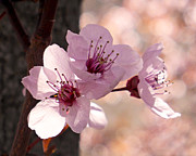 Pink Flower Prints Metal Prints - Plum Blossoms Metal Print by Rona Black