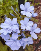All - Plumbago auriculata or cape wort by Rod Ismay