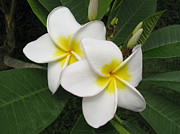 Fragrant Framed Prints - Plumeria Blossom Framed Print by Kiril Stanchev