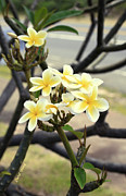 Plumeria Tree Prints - Plumeria Branch Print by Cheryl Young