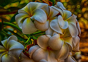 Owfotografik Photo Prints - Plumeria Bunch Print by Omaste Witkowski
