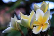 Plumeria Frangipani Sunshine Lei Print by Karon Melillo DeVega