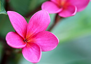Sabrina L Ryan - Plumeria in Pink