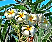 Heavenly Scent Posters - Plumeria Poster by Julianne Baltrus