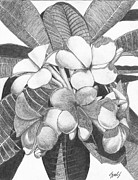 Lew Davis Drawings Framed Prints - Plumeria Framed Print by Lew Davis
