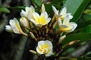 Geobob Metal Prints - Plumeria or Frangipani Flowers in Goma DRC Congo Africa Metal Print by Robert Ford
