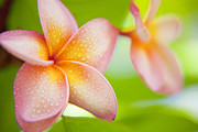 Botanica Photos - Plumeria pastels by Sean Davey