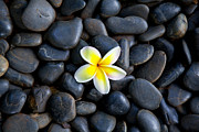 Botanica Photos - Plumeria Pebbles by Sean Davey