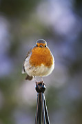 Songbirds Posters - Plump Robin Poster by Tim Gainey