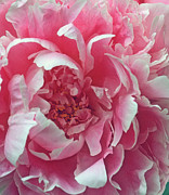 Pink Flower Prints Metal Prints - Plush Peony Metal Print by Kathy Yates