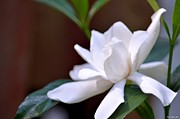 Gardenias Photos - Poetry in White by Maria Urso