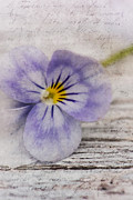 Pansies Prints - Poetry Print by Priska Wettstein