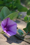 Flowering Vine Posters - Pohuehue - Pua Nani O Kamaole Hawaii - Beach Morning Glory Poster by Sharon Mau