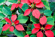 Poinsettia Leaf Posters - Poinsettia Flowers Poster by Anonymous