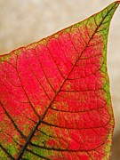 Live Art Prints - Poinsettia Leaf  Print by Chris Berry