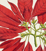 Red Leaf Drawings - Poinsettia Pulcherrima by WG Smith