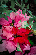 Poinsettias In Maturation Print by Gene Sherrill