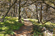 Point Lobos Reserve Art - Point Lobos Cypress Path by Jack Schultz