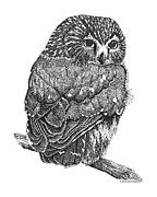 Owls Drawings - Pointillism Sawhet Owl by Renee Forth Fukumoto