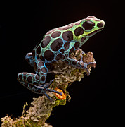 Tropical Rainforest Art - poison arrow frog Peru rain forest by Dirk Ercken