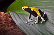 Arrow-leaf Posters - Poison Dart Frog On Leaf Poster by Dirk Ercken