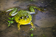 Friendly Digital Art - Pokey Green Frog by Christina Rollo