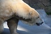 Wingsdomain Art and Photography - Polar Bear 5D27147