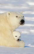 Marine Mammal Prints - Polar Bear and 12 Week Old Cub Print by Matthias Breiter