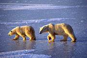 Polar Bear (ursus Maritimus) Posters - Polar Bear and Young Poster by Francois Gohier and Photo Researchers