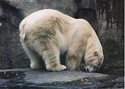 Myrna Walsh - Polar Bear At Zoo