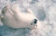 Mark Newman - Polar Bear Cub