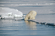 Bears Island Photos - Polar Bear Cub Searching for Mother by Flip Nicklin