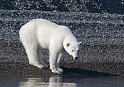 Quest Photos - Polar Bear... by Nina Stavlund