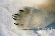 Dan Guravich - Polar Bear Paw