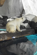 Amanda Eberly-Kudamik - Polar Bear Reflection