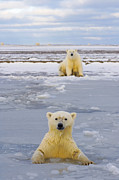 Nanook Art - Polar Bear swims in forming pack ice by Steven Kazlowski
