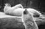Ver Sprill Photo Originals - Polar Bears by Michael Ver Sprill
