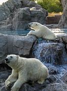 Steven Ralser - Polar bears