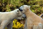 Mark Newman - Polar Bears Ursus Maritimus