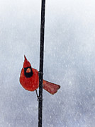 Darren Fisher - Pole Dancing Cardinal